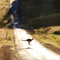 photo-of-a-kangaroo-on-road-2615031
